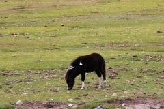 Den svarta ponnyn är betande på ett fält Fotografering för Bildbyråer