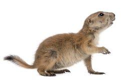 den svarta prärien för cynomyshundludovicianusen tailed Fotografering för Bildbyråer