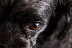 Den svarta pudelhunden gör framsidaskepticism arkivbild