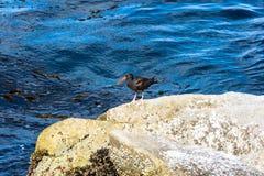 Den svarta strandskatan, Kalifornien Royaltyfria Bilder