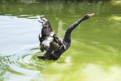 Den svarta svanen är en stor waterbird, art av svanen arkivfoto