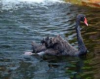 Den svarta svanen är en stor waterbird royaltyfria foton