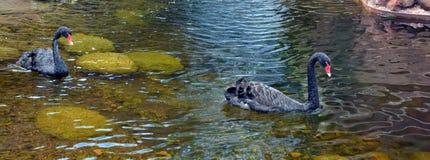 Den svarta svanen är en stor waterbird arkivbild