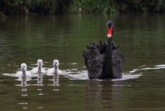 Den svarta svanen av modern och barnet Arkivfoton