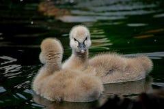 Den svarta svanen - behandla som ett barn, gulligt, waterbird royaltyfria foton