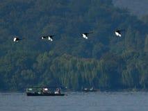 Den svarta svanen flög över hangzhou den västra sjön Royaltyfri Bild