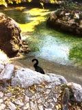 Den svarta svanen i Atenmedborgareträdgårdar fotografering för bildbyråer