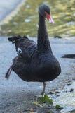 Den svarta svanen i balett poserar nära dammet Arkivfoto