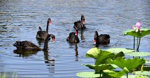 Den svarta svanen i dammet Arkivfoton