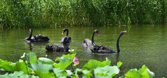Den svarta svanen i dammet Royaltyfri Bild