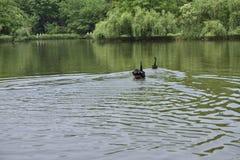 Den svarta svanen i parkera Fotografering för Bildbyråer