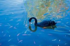 Den svarta svanen och fisken Fotografering för Bildbyråer