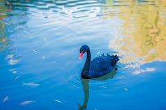 Den svarta svanen och fisken Arkivbild