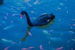 Den svarta svanen och fisken Royaltyfria Bilder