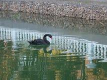 Den svarta svanen på sjön i stad parkerar Royaltyfria Bilder