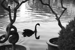Den svarta svanen reflekterade i sjön - svartvitt fotografi arkivfoto