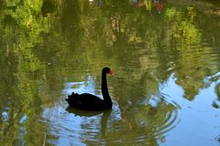 Den svarta svanen simmar i ett damm royaltyfri bild