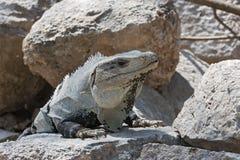 Den svarta taggiga leguanen, den svarta leguanen eller svartctenosaur i fördärvar av den uxmal tidigare mayan staden, Mexiko Royaltyfria Foton