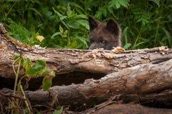 Den svarta valpen för fasGrey Wolf Canis lupus plirar över journal Arkivfoton