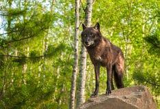 Den svarta vargen (Canislupus) uppe på vaggar Arkivfoton