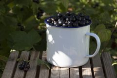 Den svarta vinbäret i blått emaljerat rånar på en bänk Royaltyfri Fotografi