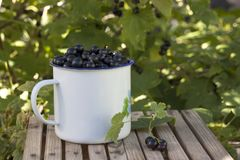 Den svarta vinbäret i blått emaljerat rånar på en bänk Arkivfoton