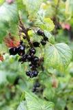 Den svarta vinbäret samla i en klunga på filialen royaltyfri foto