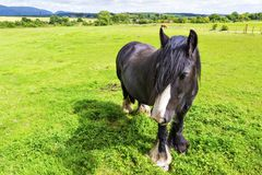 Den svarta zigenska hästaka zigenaren Vanner eller irländaremajskolven betar på pastur Arkivbilder