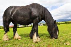 Den svarta zigenska hästaka zigenaren Vanner eller irländaremajskolven betar på pastur Arkivbild