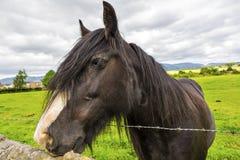 Den svarta zigenska hästaka zigenaren Vanner eller irländaremajskolven poserar nästan t Arkivfoto