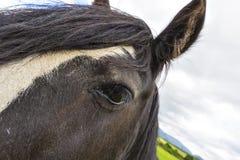 Den svarta zigenska hästaka zigenaren Vanner eller irländaremajskolven poserar nästan t Arkivbilder