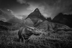 Den svartvita bilden av buffeln på risfält terrasserade på med arkivfoto