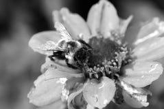 Den svartvita bilden av stapplar annalkande pollen för biet Royaltyfri Foto