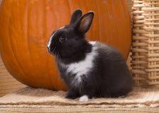 Den svartvita dvärg- holländska kaninmånaden behandla som ett barn bredvid en stor nolla fotografering för bildbyråer