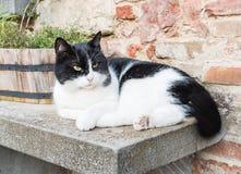 Den svartvita katten Royaltyfri Foto