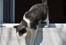 Den svartvita katten klättrar ut fönstret ner Arkivfoton