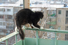Den svartvita katten på balkongen Royaltyfri Foto