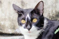 Den svartvita randiga katten ser något att äta i morgonen arkivfoto
