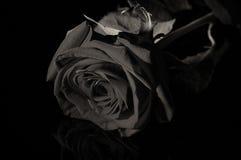 Den svartvita rosen i bottenlägetangent sköt i studio med konstgjort l Royaltyfri Fotografi