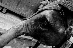 Den svartvita versionen av den fattiga elefanten Arkivbild