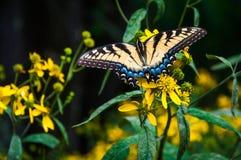 Den Swallowtail fjärilen på guling blommar i Shenandoah medborgare P Arkivfoto
