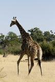 Den sydliga giraffet royaltyfri foto