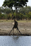 Den sydliga giraffet fotografering för bildbyråer