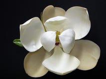 Den sydliga magnolian 4 Fotografering för Bildbyråer