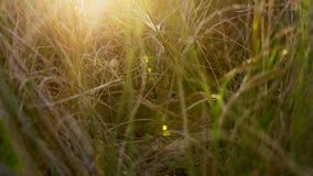 Den sydliga vleien tjaller döljer i gräset från rovdjuret, savann, Afrika arkivbilder