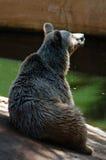 Den syrianska björnen sitter upp Royaltyfria Bilder