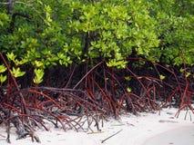Den täta busken av mangroveträdet och rotar på stranden royaltyfri foto