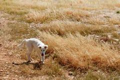 Den törstiga hunden torkade upp från sommarvärme torka arkivfoton