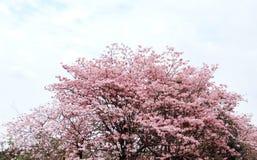 Den Tabebuia roseaen parkerar in royaltyfri fotografi