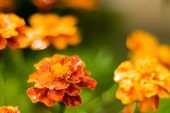 Den Tagetes ringblomman blommar efter regn arkivfoto